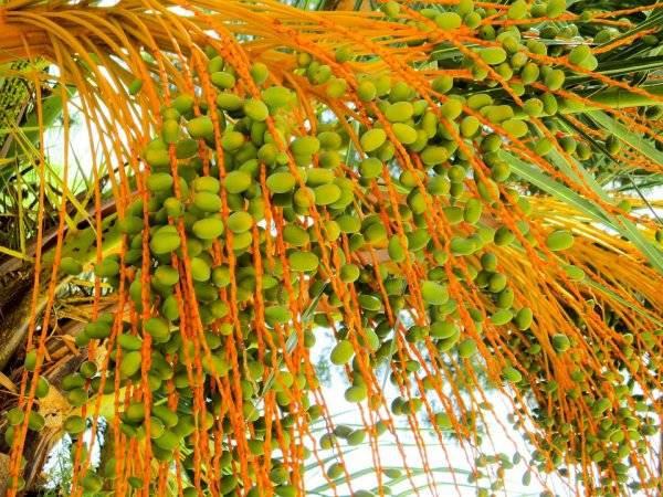 棕榈仁壳(PKS)成为日本生物质市场不断增长的主要原料
